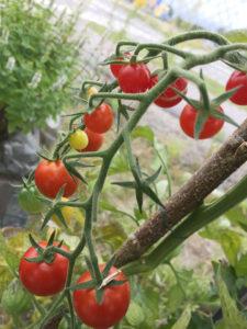 En bild på våra mogna tomatplantor