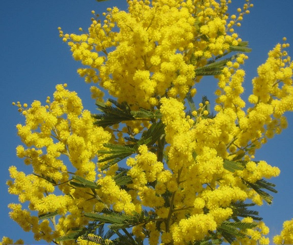 Yellow mimosa, in full blossom
