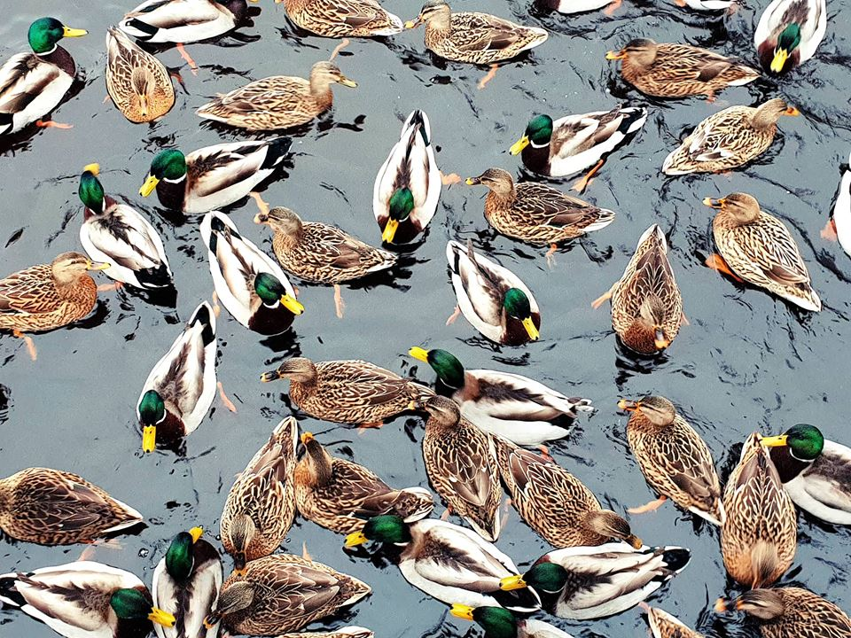 Ducks swimming in Lake Salen